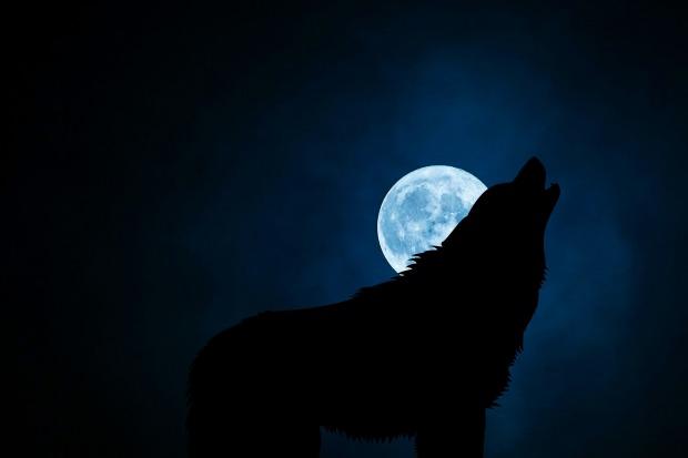 wolf-3022813_1920