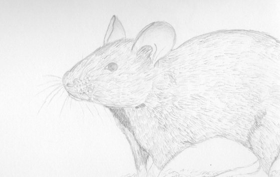 Mouse (Not A Rat)